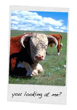 single polaroid cow