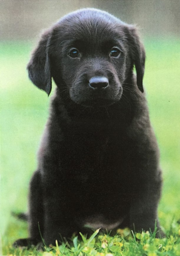 Guide-dog-puppy