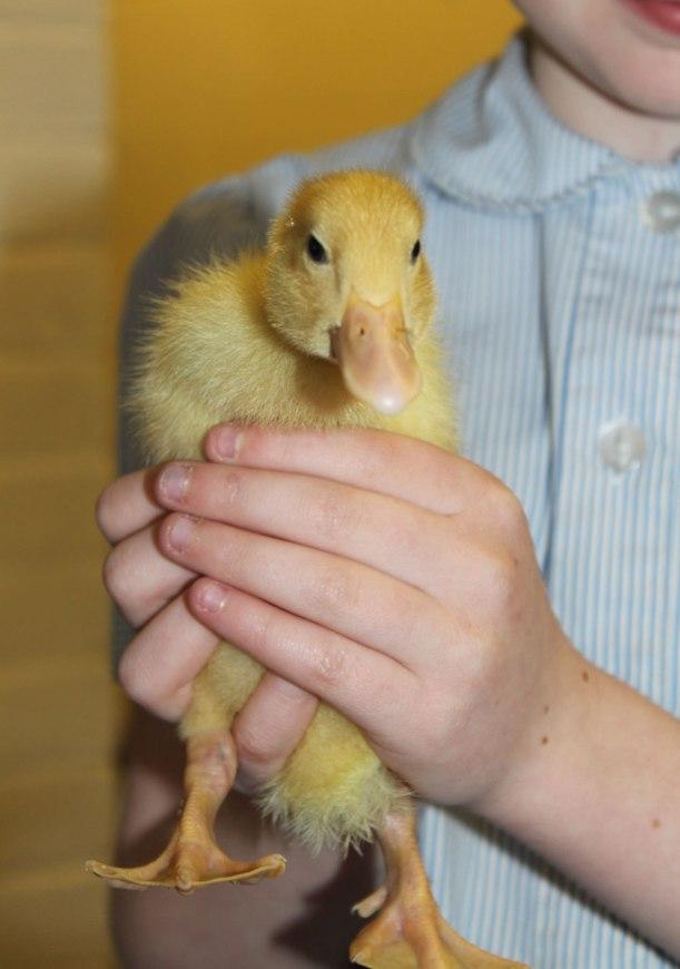 holding-ducks2