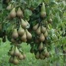 pear-tree2