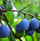 plum-tree2