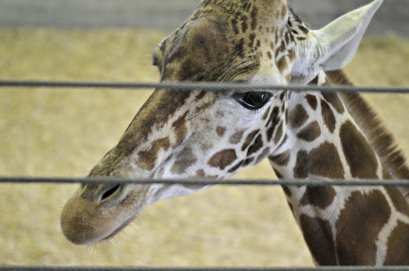 Banham-Zoo-Giraffes