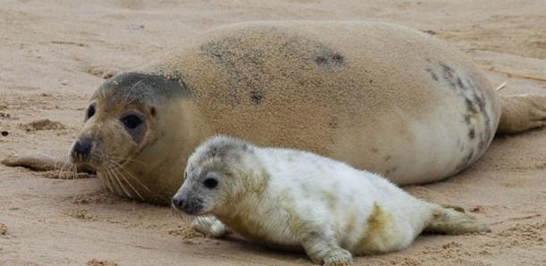 seals-at-horsey