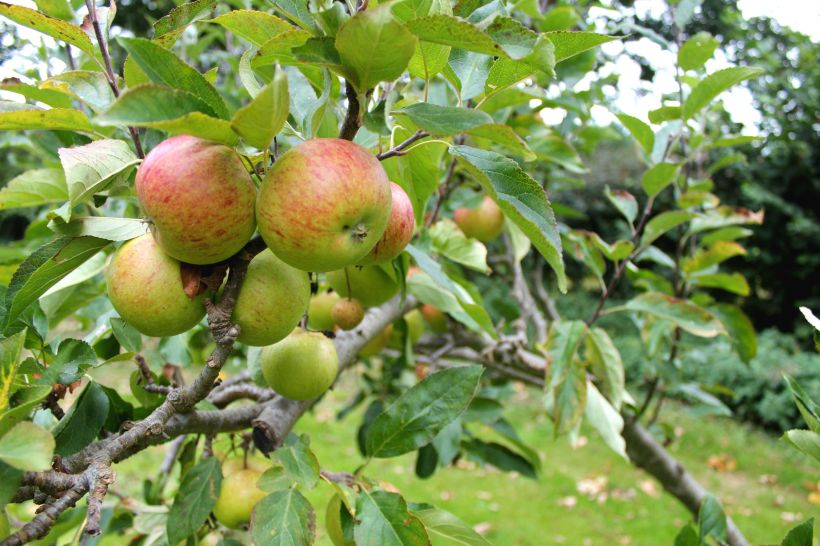 Red apples in tree in beautiful orchard, set in Norfolk independent boarding school gardens.