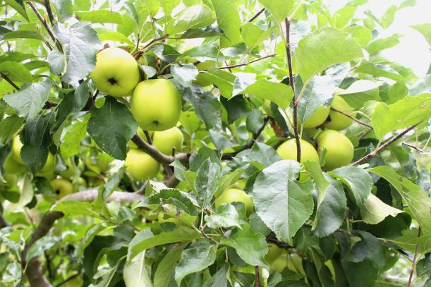 Green apples in tree at independent boarding school, Norwich,